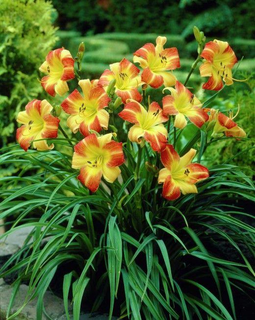3 самых надежных сорта лилейника. Прекрасные лилейники с их изящными цветками и восхитительными густыми куртинами зелени из плотных линейных листьев по праву заслужили свое звание одного из самых универсальных садовых растений. Эти многолетники, красующиеся яркими крупными цветками при всей своей диковинной красоте выращивать удивительно просто. Лилейники экономят время по уходу за цветниками, выносливы, неприхотливы, практически не требуют заботы, но при этом по декоративности способны…