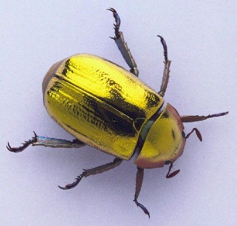 """The Golden Scarab Beetle (Chrysina resplendens): its chitinous cuticle reflects circularly polarized light which is """"left-handed"""". Sounds complicated; looks brilliant!"""