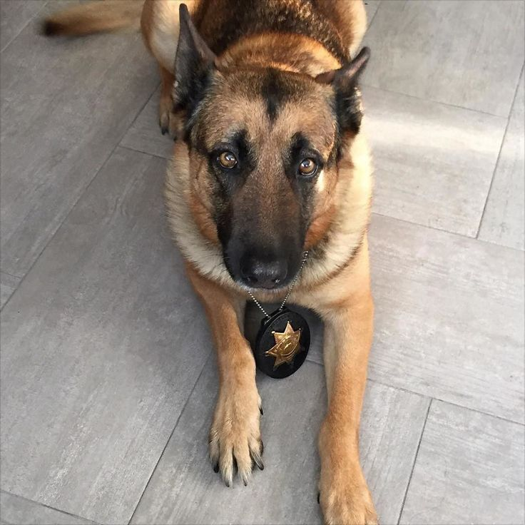 Rex Machine from the Alameda County sheriff's department in California. Have a malinois pic that you care to share? DM me.