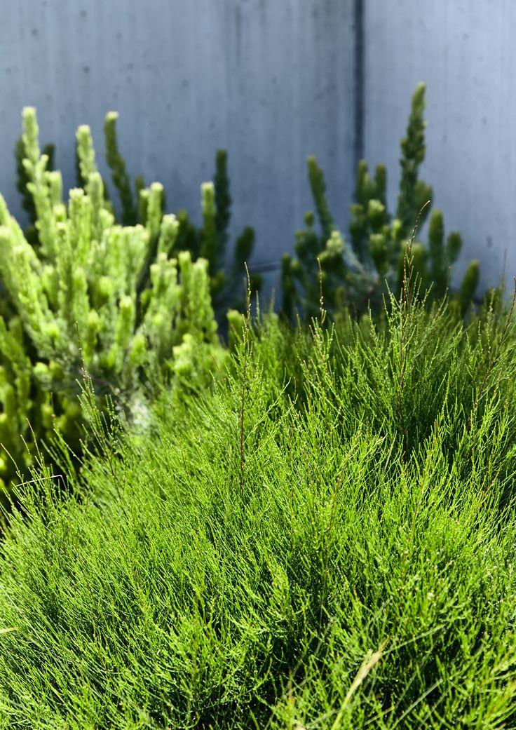 2191 best australian native plants images on pinterest