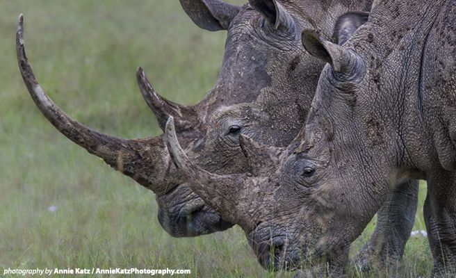 AWF responds to the dismissal by South Africa's Constitutional Court of an appeal by South Africa's Department of Environmental Affairs to uphold a moratorium on the domestic trade in rhino horn.