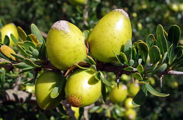 Fas'ın Sıvı Altını; Argan (Ağacı) Yağı