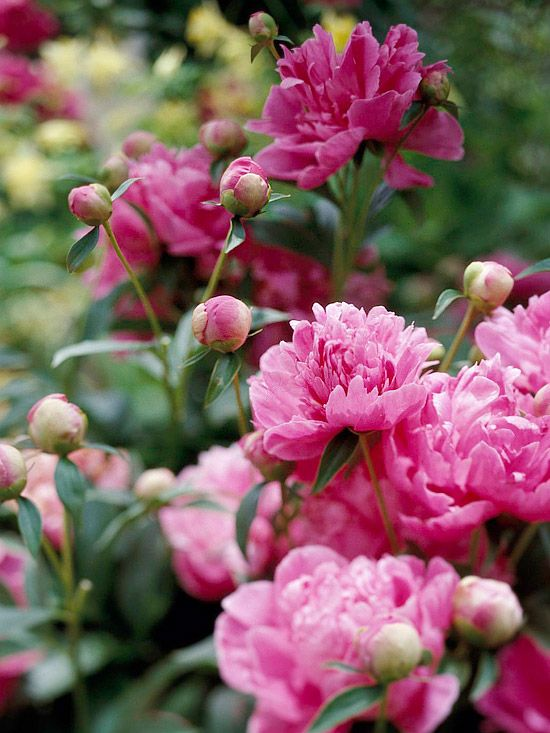 Peonies are as rabbit-resistant as they are beautiful. These long-lived perennials are tough, too -- as long as you stake up their heavy late springtime flowers to keep them from spilling on the ground after a heavy rain. Name: Paeonia varieties Growing conditions: Full sun and well-drained soil Height: 2-7 feet tall, depending on variety Zones: 3-8, depending on variety/