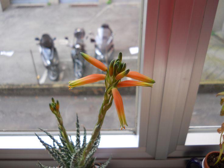 My little cactus' flowers.