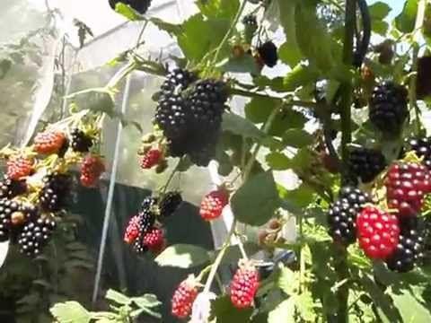 Выращивание ежевики - двойная обрезка куста, описание, посадка и уход, высокая урожайность. Обсуждение на LiveInternet - Российский Сервис Онлайн-Дневников