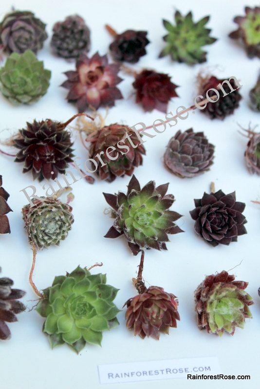 69 best sempervivum images on pinterest plants succulents and succulent gardening. Black Bedroom Furniture Sets. Home Design Ideas