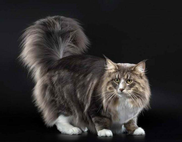 Норвежская лесная кошка.