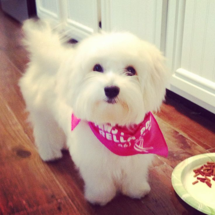 My Maltese after his hair cut