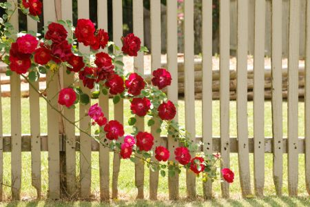 How to Plant and Train a Climbing Rose    Read more: http://www.doityourself.com/stry/climbingroses1#ixzz2Q2EZ9lMX