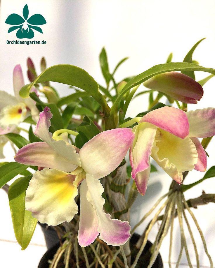 Dendrobium Lovely Virgin Angel #orchids #Orchidee #Orchideen #OrchIDEENgarten #orquídea #orquídeas #orchidées #orchidée #orchidej #orchideje #orkid #orkidéer #storczyki #storczyk #nature #naturelovers...