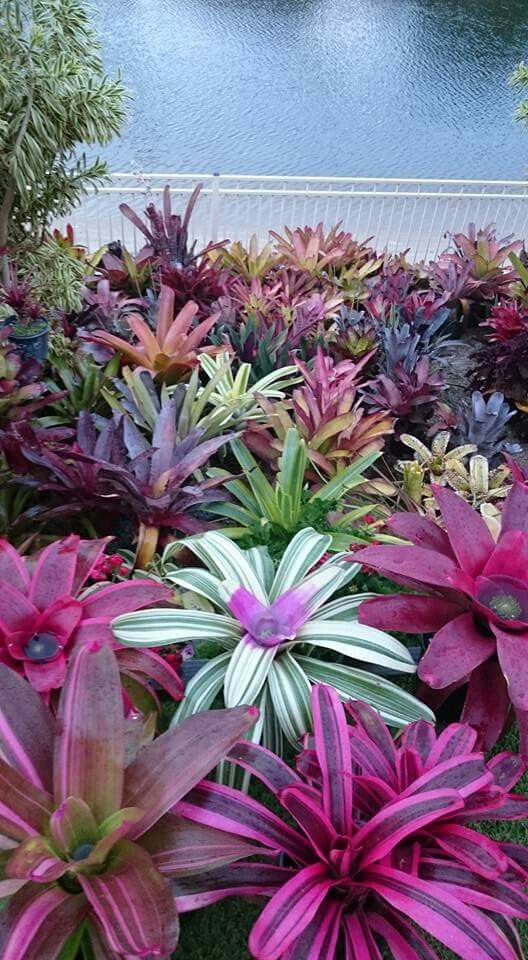 Bromeliades - great range of colours
