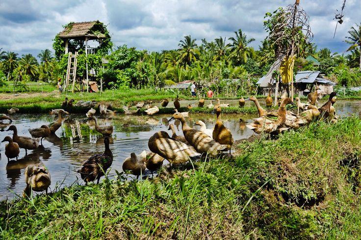 Famous ducks