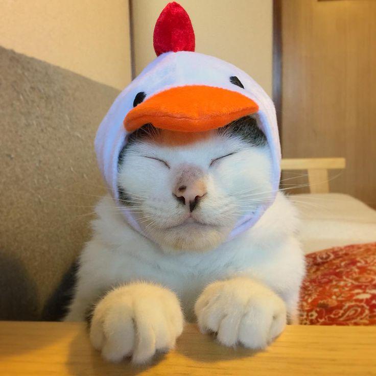 やっぱり、森三中の大島さん似w ズラ被せても動じない男…ハッチャン❤︎ 普段はビビリやのに、こうゆうのはぜんぜん平気。 #八おこめズラ #八おこめ #ねこ部 #cat #ねこ #酉年