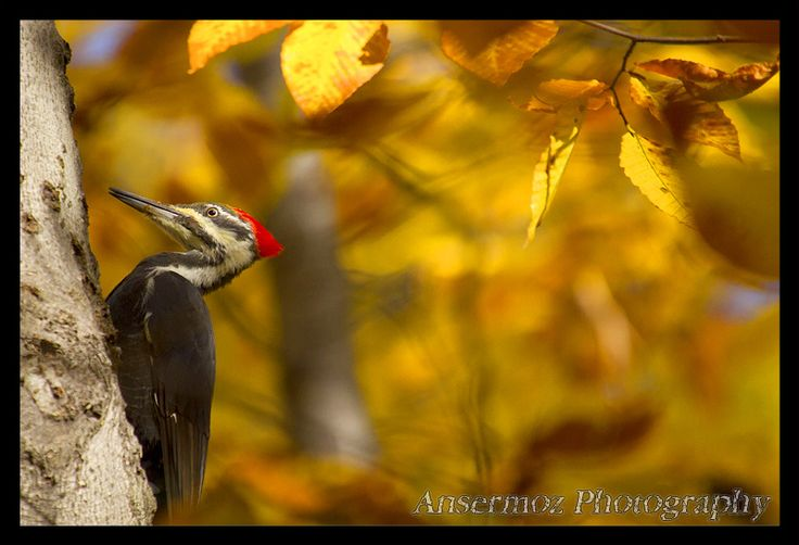 A chance to find a Pileated Woodpecker during the Fall season, high in the trees.    You can find this photo at http://www.ibuyphotos.com/animals/photo-bird-018/
