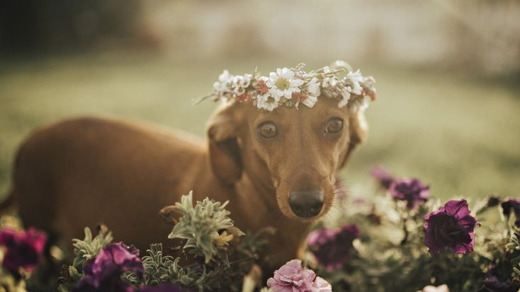 Cindi the sausage dog's stunning maternity shoot goes viral