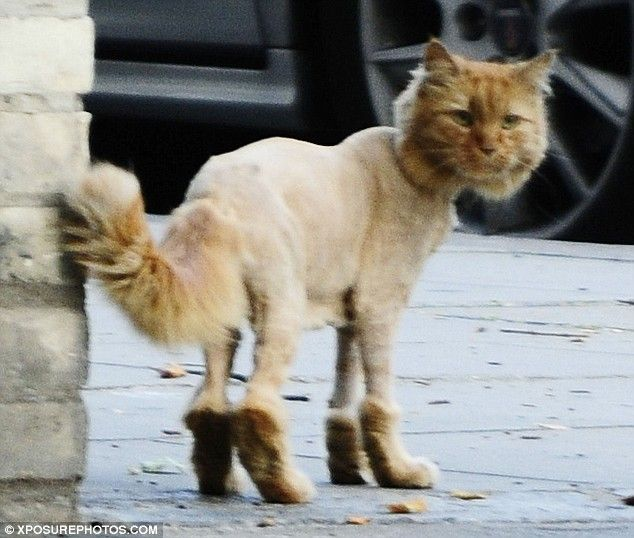 Shaved+Cat | Shaved Cats | Lots of Cats