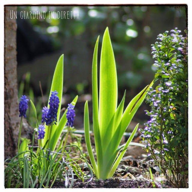 Iris germanica sotto il ciliegio, buongiorno giardinieri!