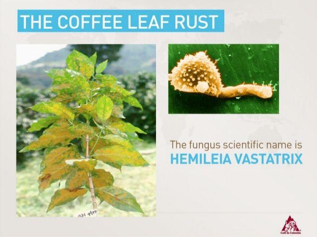 The fungus Scientific name is Hemileia Vastatrix.