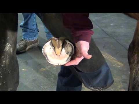 ▶ Farrier Hoof Trim, Tools & Process - FootPro Information Series - YouTube