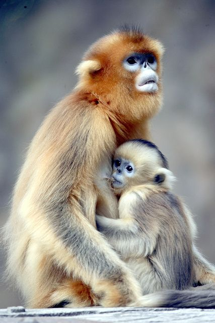 Golden monkey :: by floridapfe  [via Flickr] :: Pogok-Eup, Yongin-Si, Kyeongki-Do, Coréia do Sul.