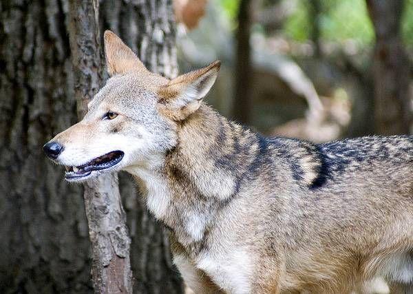 Самые редкие животные собачьи мира