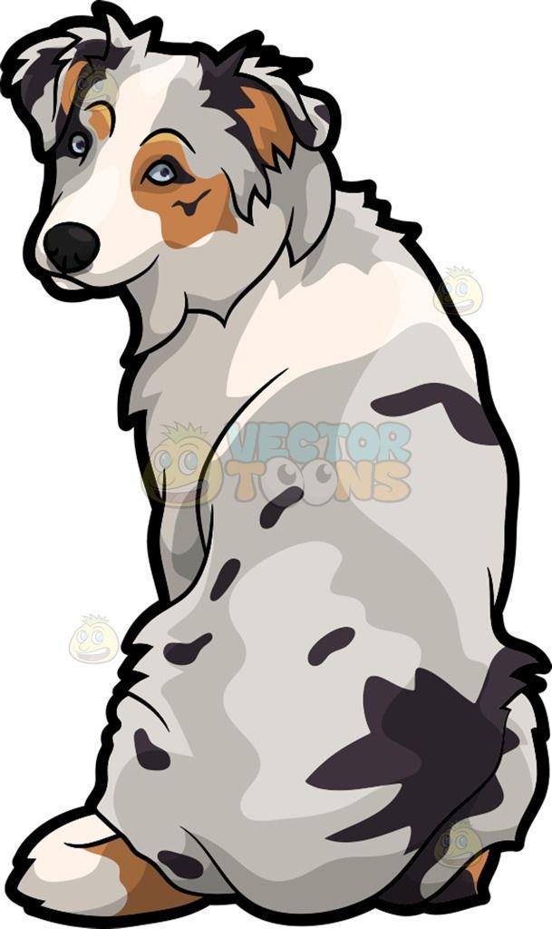 A Lovely Australian Shepherd Dog