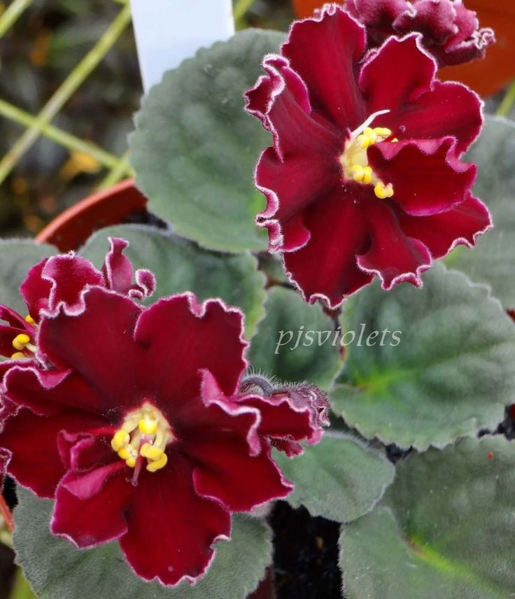 african violet Lady In Red pair of leaves #africanviolet
