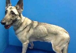 ***URGENT*** is an adoptable German Shepherd Dog Dog in New York, NY ...