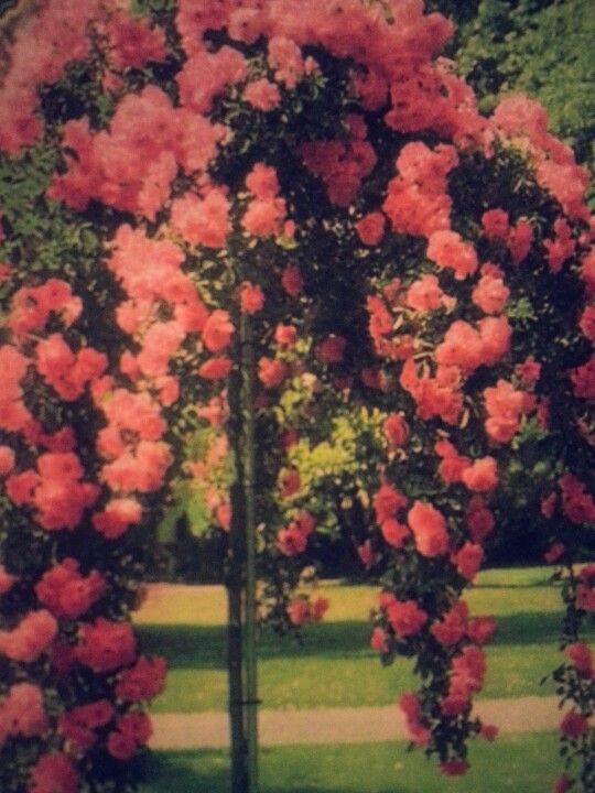 Weeping Tree Roses Roses In Bloom Pinterest Trees