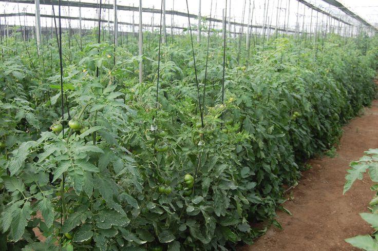 Nuestro cultivo de tomate raf en todo su esplendor