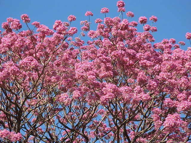 Stoffwechsel anregen Tee Lapacho Baum