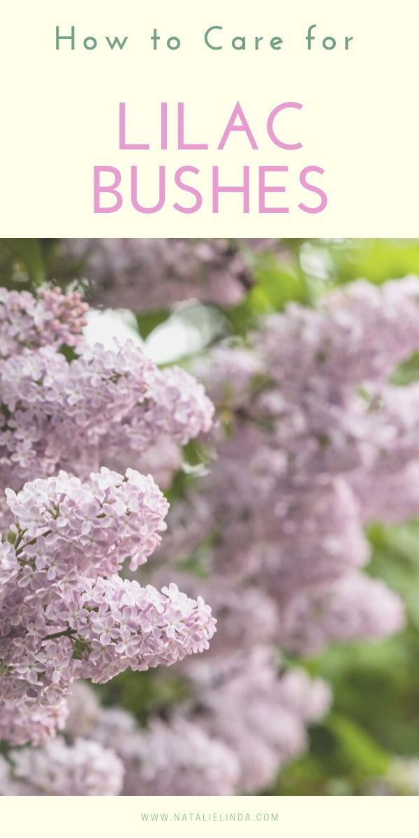 How To Grow A Lilac Bush For Beautiful Blooms In The Spring Natalie Linda In 2020 Lilac Bushes Lilac Gardening Plants