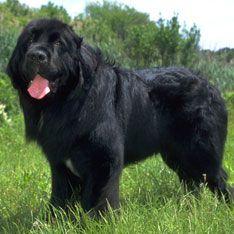 Newfoundland best dogs for kids