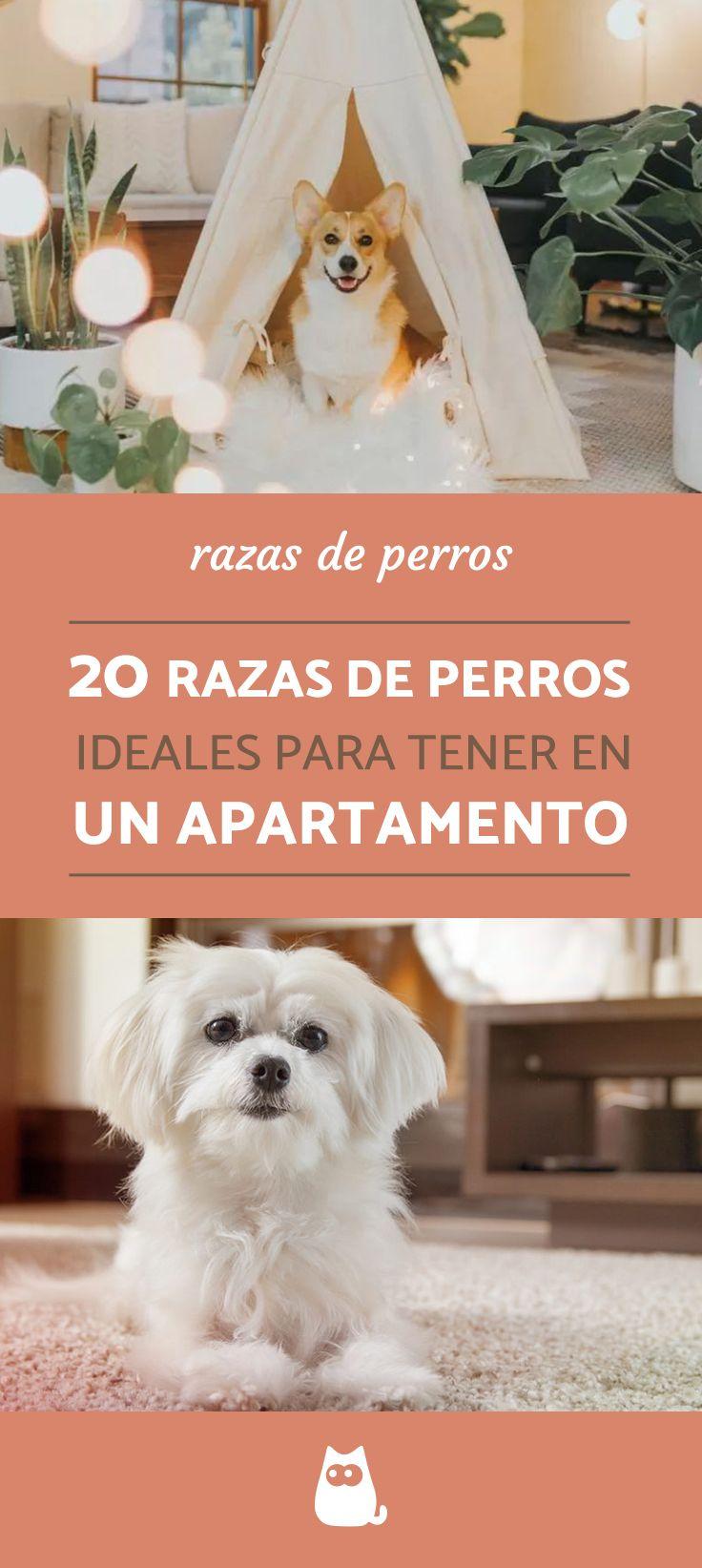 20 Razas De Perros Para Tener En Un Piso Con Nombres Y Fotos Razas De Perros Perros Tranquilos Razas De Perros Inteligentes