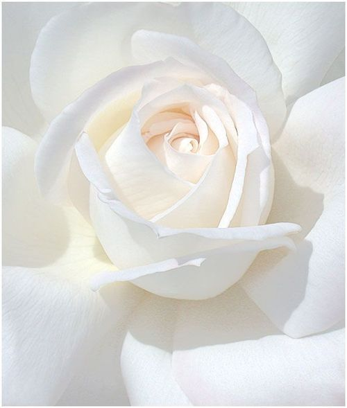 A white rose. Purity.