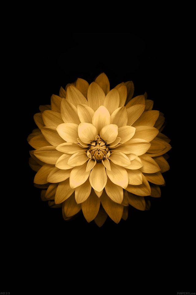 FreeiOS7 | ad39-apple-yellow-lotus-iphone6-plus-ios8-flower | freeios7.com