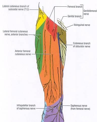 lateral femoral cutaneous nerve - google search | pa school, Muscles