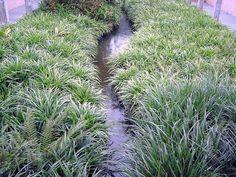 Carex is een grasachtig kruid: Zegge. De grote pollen blijven groen in de winter. Je hoeft ze niet af te knippen. Staan graag in de schaduw. Langs het pad of langs de border geven ze structuur en onkruid krijgt geen kans. Niet vlak onder bladverliezende bomen zetten, dan moet je het afgevallen blad verwijderen. Carex morrowii `Variegata`