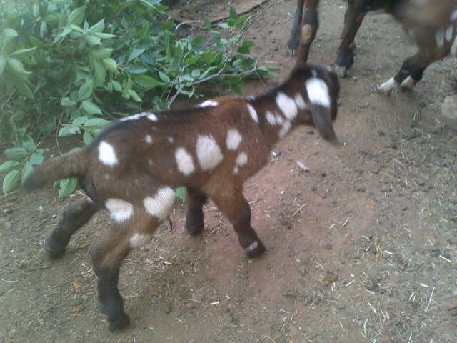 New kid, 15 Min old one of Triplets, has 2 Sister, from my brown stud ewe.