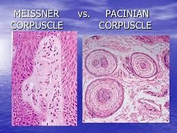 Image result for meissner corpuscle | Touch receptors in ...