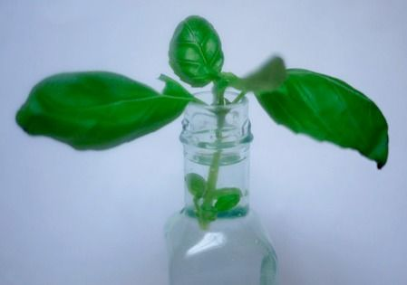 How To Make More Basil Plants and have plenty of basil all through the season for pennies.