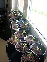 Tomaten anbauen: Tomaten selber ziehen / pflanzen