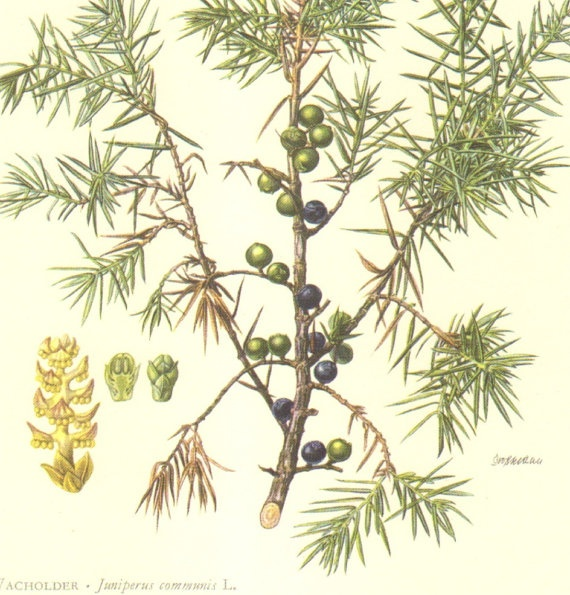 1958 Foliage and Berries of the Common Juniper Vintage Offest Lithograph to Frame