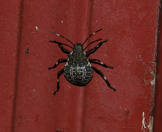 how to kill stink bugs in garden