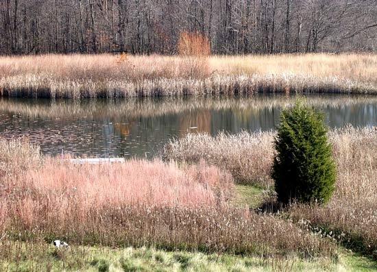 34 best ornamental grasseses images on pinterest garden for Ornamental grasses for ponds