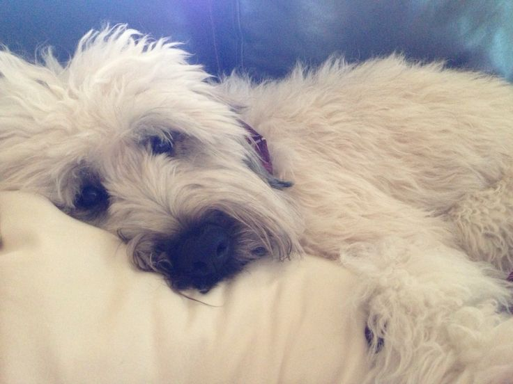 Cooper our soft coated wheaten terrier....the breed also known as the bed hogs.
