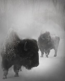 Love the Bison. Must be my Sioux heritage!Photos, Winter Snow, Bisons, Buffalo, Rocky Mountain, Beautiful, Creatures, National Parks, Animal