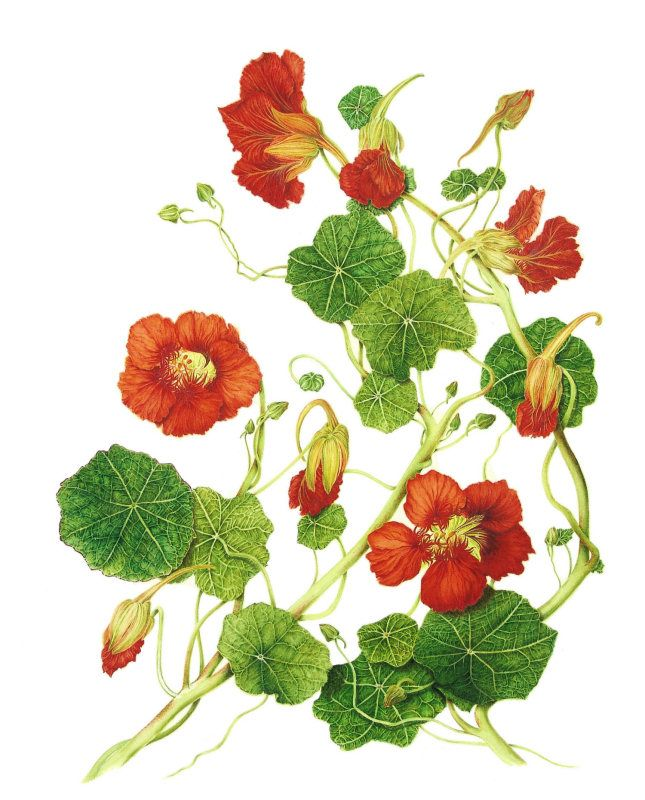 Tropaeolum majus (Nasturtium) | botanix