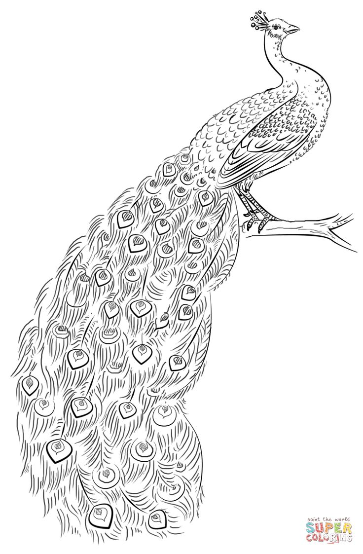 Peacock Coloring page Free Printable