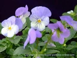 Image result for viola flower
